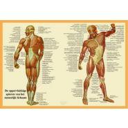 """Poster """"de spieren van het lichaam"""""""