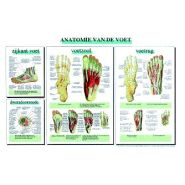 """Poster """"anatomie van de voet"""""""